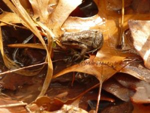 A beautiful and tiny Wood Frog!