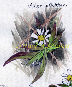 Watercolor study of a white Aster in October.