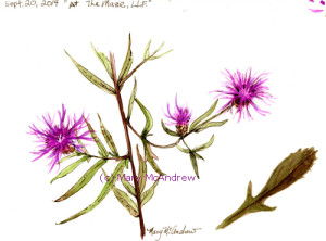 This is another study of Knapweed, done in bright sunlight.