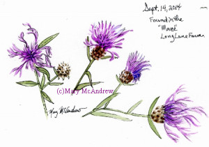 A watercolor study of Knapweed (as far as I can tell).