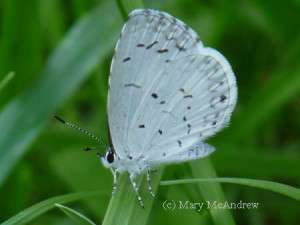 A gorgeous Spring Azure Butterfly!
