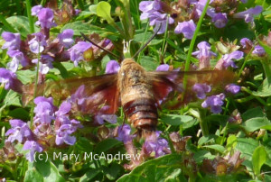 A fascinating Hawkmoth, can you see it's clear wings?