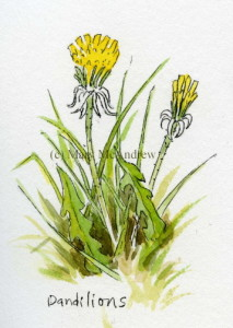 Tiny study of Dandelions in the grass.