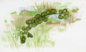 A small study I did years ago of Moneywort, not in bloom.