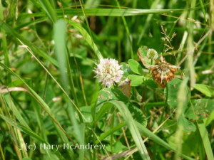 Skipper butterfly on sweet white clover.
