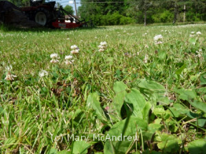 White clover blooming in the warm grass of summer.