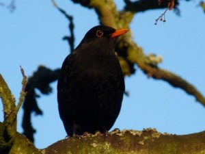 A male Blackbird, in the thrush family and closely related to the American Robin.