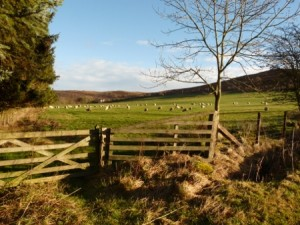 A pretty view of sheep over a country fence.