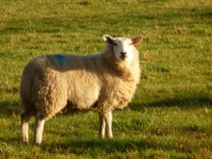 A sheep wondering what I'm doing in his field.