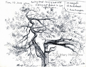 Pine tree across the road from us, I noted the birds I saw while sketching it.