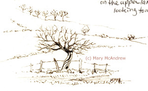 Ink sketch of a very old Hawthorn in a farmers hedgerow.