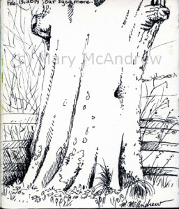 "4.25"" x 5"" ink drawing of our ancient Sycamore."