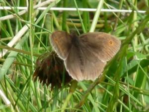 7-16-15 butterfly (3) (460x345)