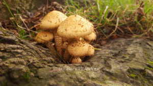 "Beautiful, I'm guessing at ""Shaggy pholiota?"