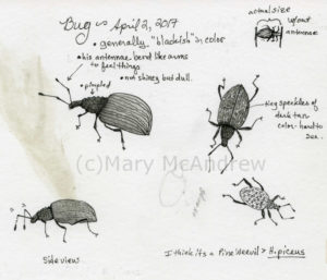 Enlarged sketches of the Weevil