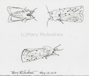 Ink studies of White Ermine Moth