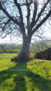 This is the ancient ____ tree at Edlingham Castle.